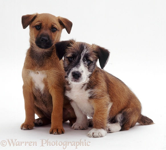 Jack Russell Terrier cross pups, Jorge and Trixie, 12 weeks old, white background