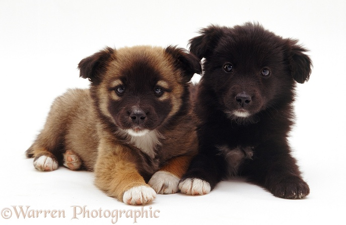 Cute mongrel pups, white background