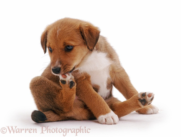 Lakeland Terrier x Border Collie pup Henry, 6 weeks old, nibbling his foot, white background