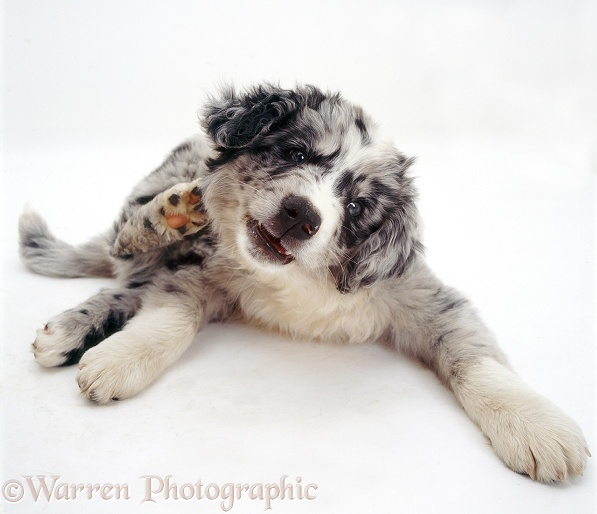 Blue merle Border Collie pup, Ash, scratching his neck, white background