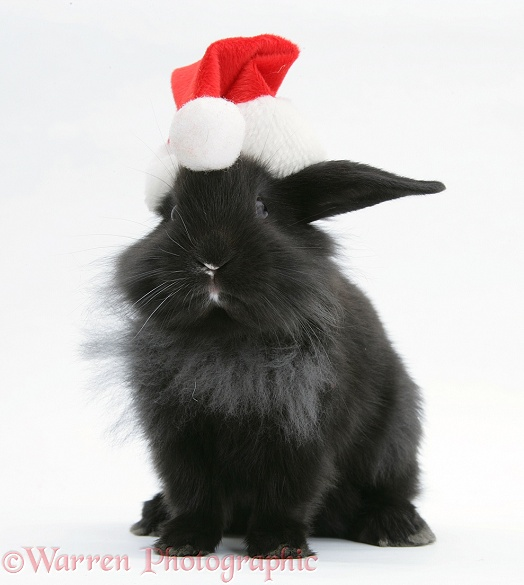 Black baby Dutch x Lionhead rabbit with Father Christmas hat on, white background