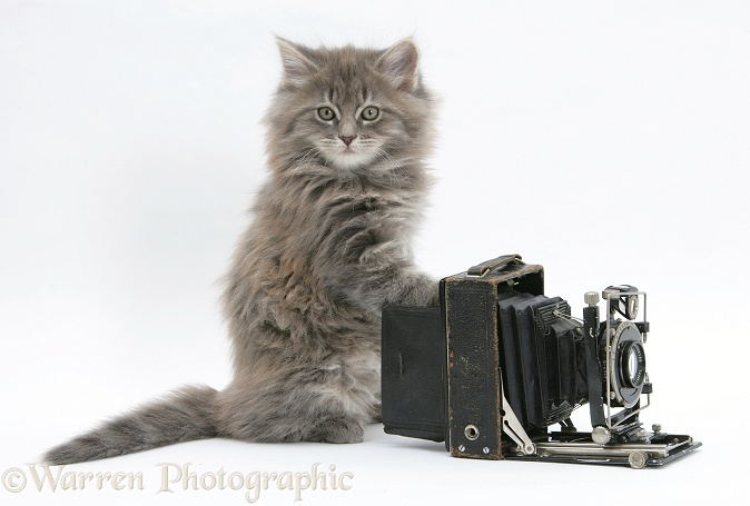 Maine Coon kitten, 8 weeks old, playing with an old bellows camera, white background
