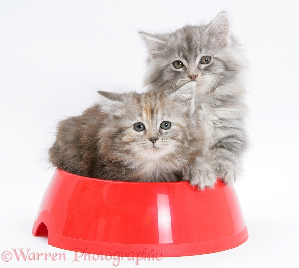 Maine Coon kittens, 8 weeks old, in a plastic food bowl, white background