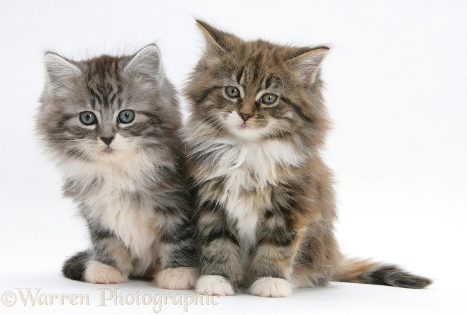 Maine Coon kittens, 8 weeks old, white background