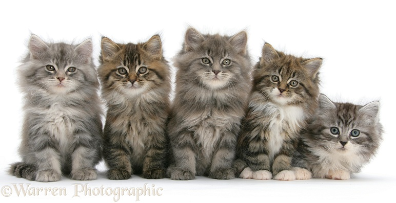 Five Maine Coon kittens, 8 weeks old, white background