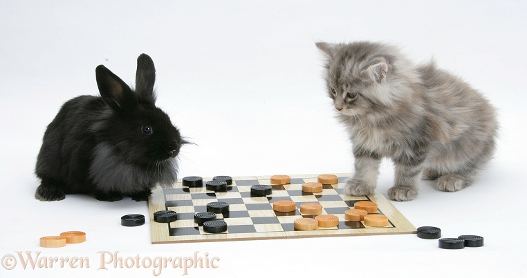 Maine Coon kitten, 8 weeks old, and black rabbit playing draughts, white background