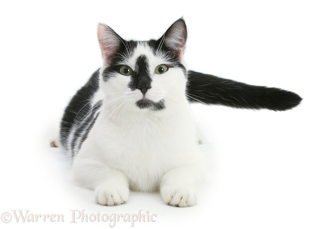 Black-and-white cat, Pablo, lying with head up, white background