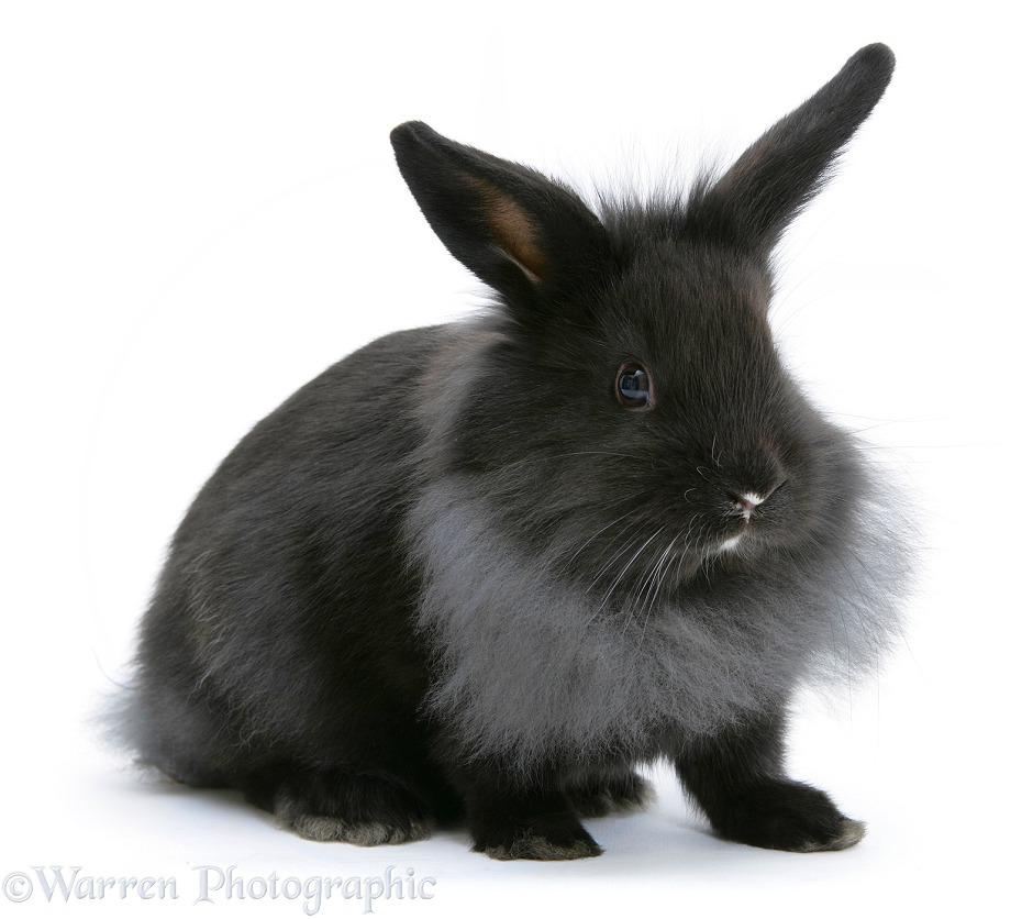baby dutch x lionhead rabbit photo   wp18722