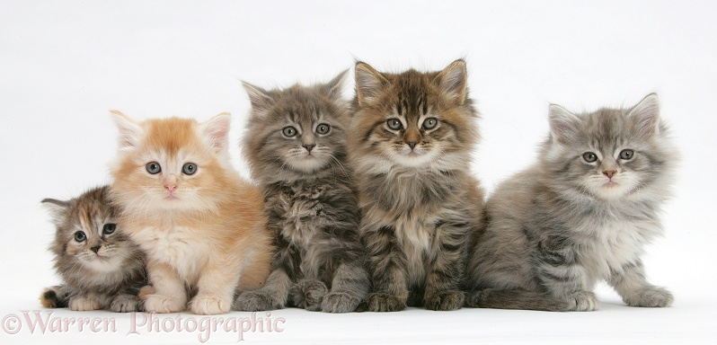Five Maine Coon kittens, 7 weeks old, white background