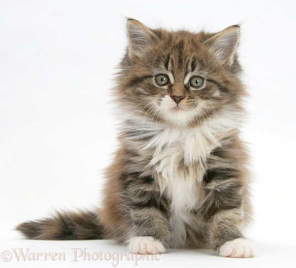 Maine Coon kitten, 7 weeks old, sitting, white background
