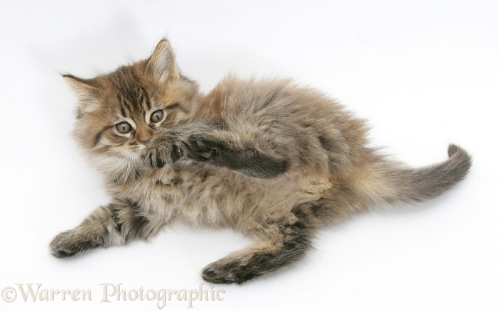 Maine Coon kitten, 7 weeks old, lying on its back, looking up in a playful manner, white background