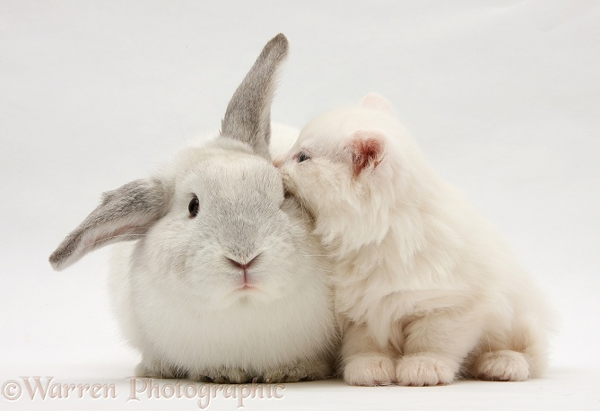 White Maine Coon kitten and white rabbit, white background