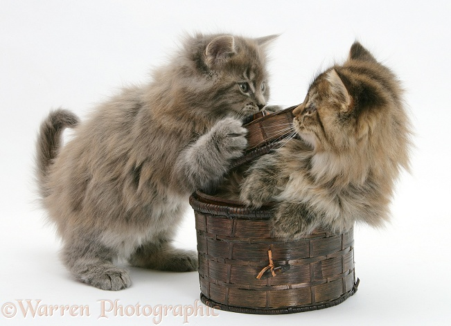 Maine Coon kittens playing with a basket, white background