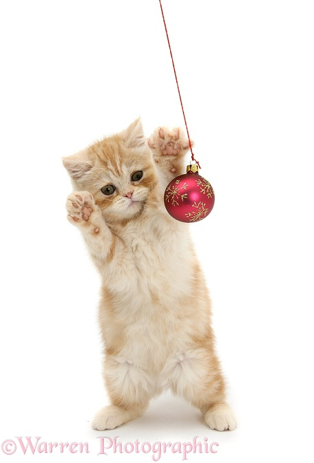Ginger kitten playing with Christmas bauble, white background