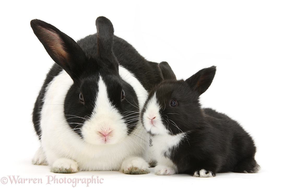 Mother and baby black-and-white Dutch rabbits, white background