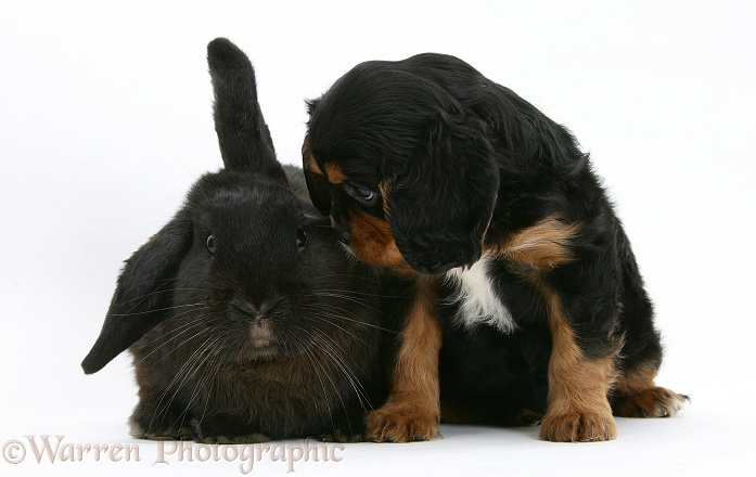 Black-and-tan Cavalier King Charles Spaniel pup and black rabbit, white background