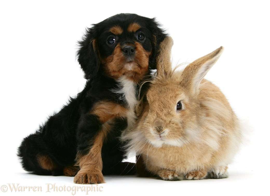 King Charles Spaniel pup and sandy Lionhead rabbit, white background