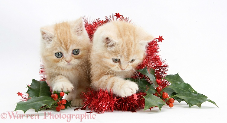 Ginger kittens with red tinsel and holly berries, white background