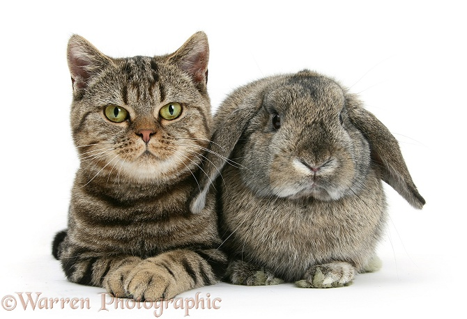British Shorthair Brown tabby cat, Tiger Lily, with agouti Lop rabbit, white background