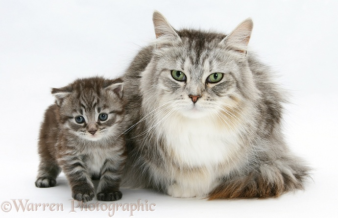 Maine Coon Kittens Uk >> Maine Coon mother cat and kitten photo WP18843