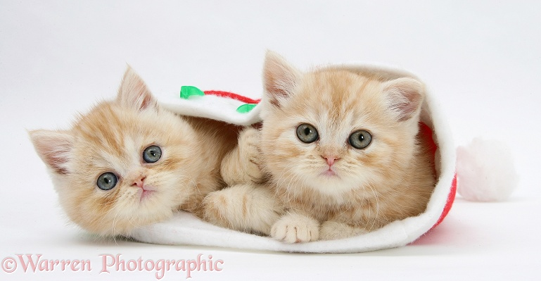 Ginger kittens in a Father Christmas hat, white background