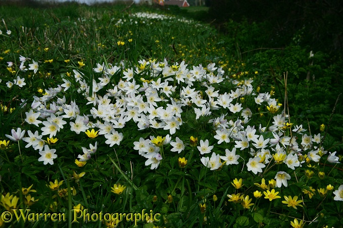 Wood Anemones (Anemone nemorosa) and Lesser Celandines (Ranunculus ficaria) beside a hedgerow in spring.  Europe