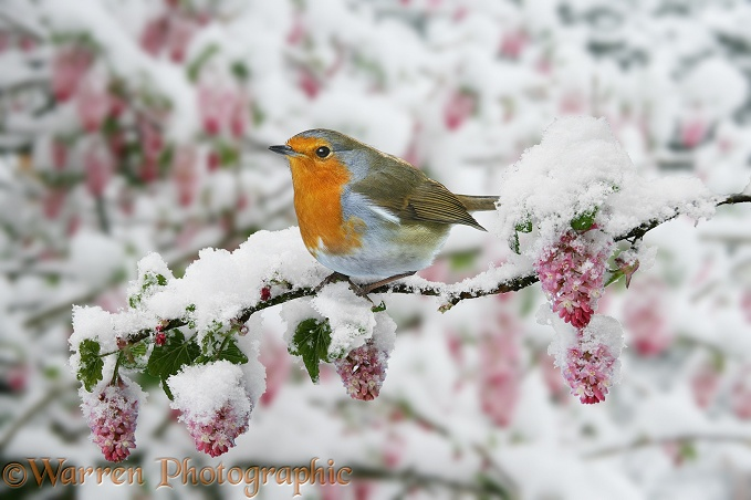 European Robin (Erithacus rubecula) on Flowering Currant (Ribes sanguineum) after a late snowfall in April.  Europe