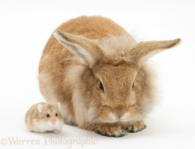 Sandy Lionhead rabbit meeting Dwarf Siberian Hamster