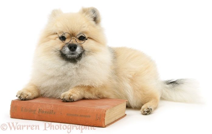 Pomeranian dog, Rikki, wearing glasses and with paws over a book, white background