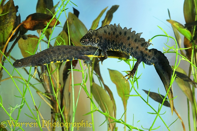Great-crested Newt (Triturus cristatus) egg-laying female attended by male.  Europe