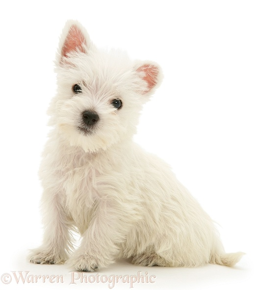 West Highland White Terrier pup, sitting, white background