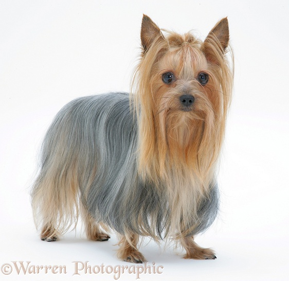Yorkshire Terrier in show coat, white background