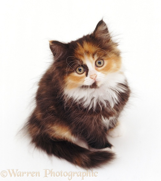 Tortoiseshell-and-white Persian-cross kitten (x Cosmos), 8 weeks old, sitting and looking up, white background