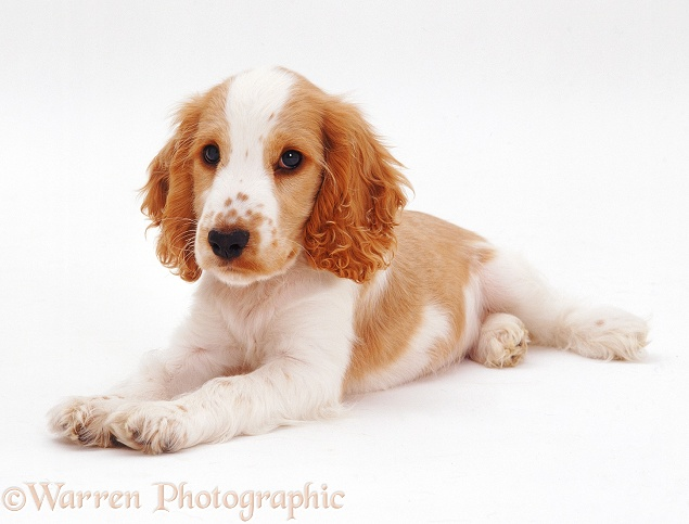 Orange Cocker Spaniel pup, Naomi, 14 weeks old, white background