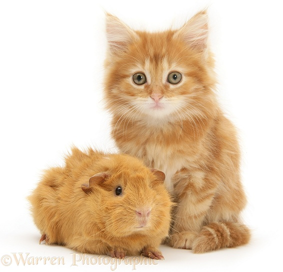 Ginger Maine Coon kitten with a ginger Guinea pig, white background