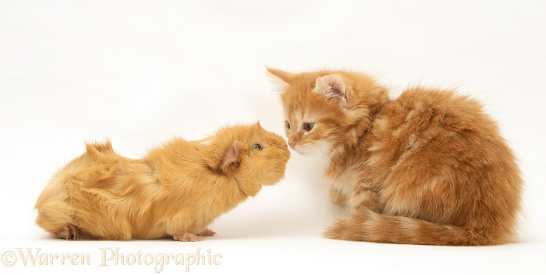 Ginger Maine Coon kitten meeting a ginger Guinea pig, white background
