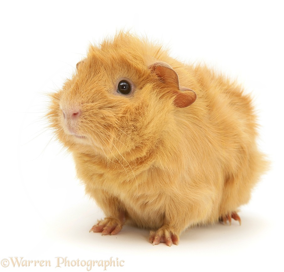 Young red Abyssinian bad-hair-day Guinea pig, white background