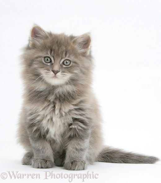 Maine Coon kitten, 7 weeks old, white background
