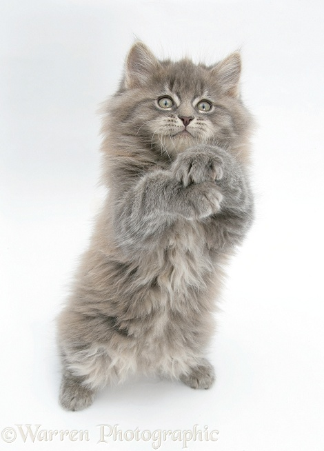 Maine Coon kitten, 8 weeks old, standing up, with paws up, white background