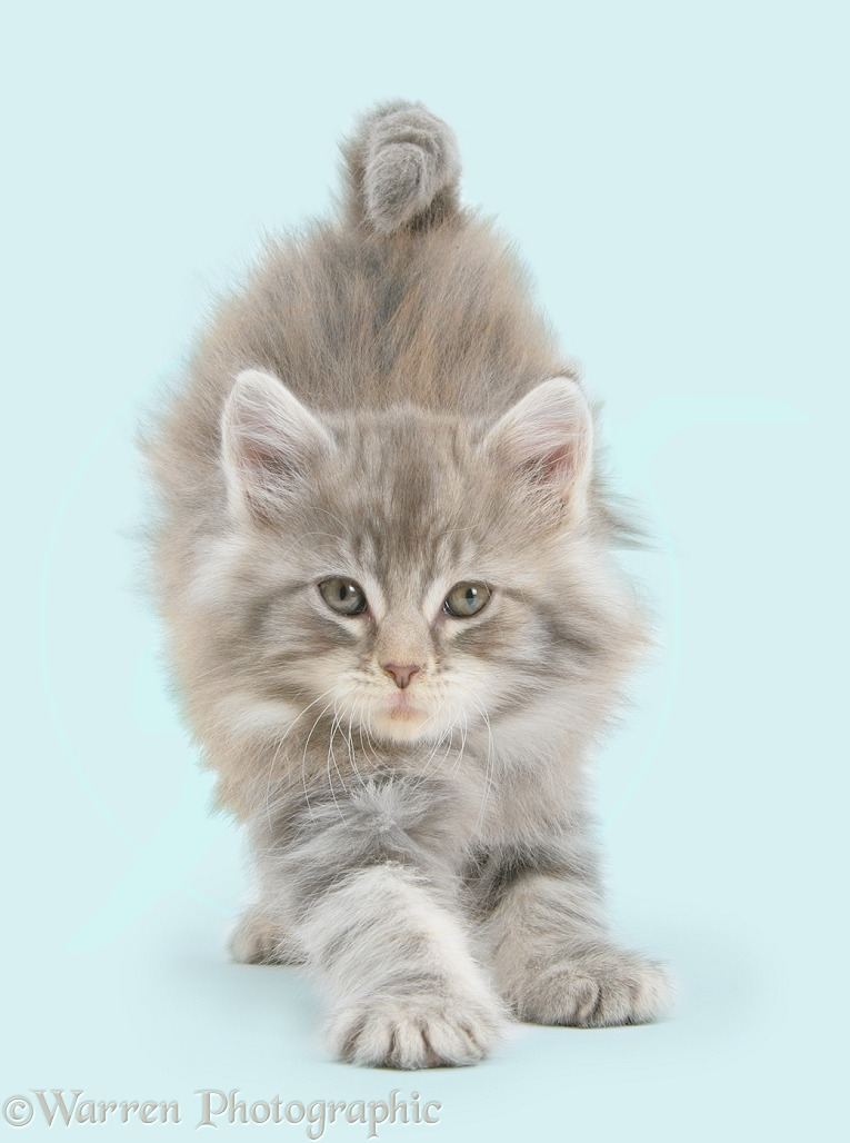 Maine Coon kitten, 7 weeks old, stretching, white background