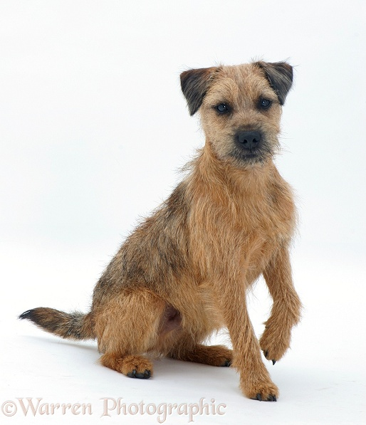 Border Terrier dog listening with ears cocked, white background