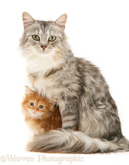 Maine Coon mother cat, Bambi, with her ginger kitten, white background