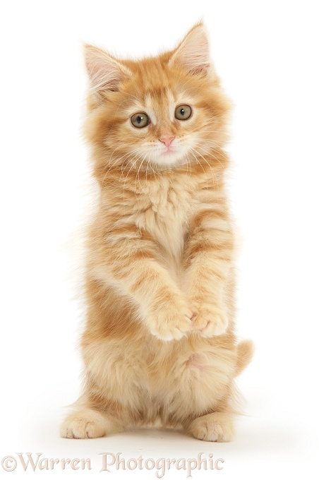 Ginger Maine Coon kitten, white background