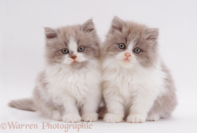 Two Persian cross lilac bicolour kittens, 9 weeks old, white background