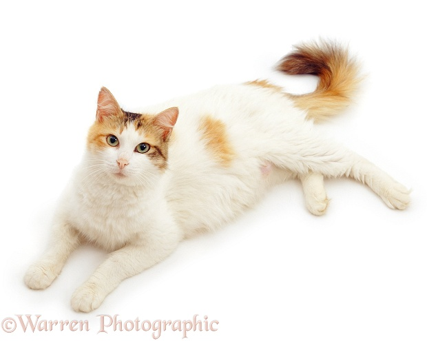 Ginger-tortie-and-white cat, Alexandria, lying down and looking up, white background
