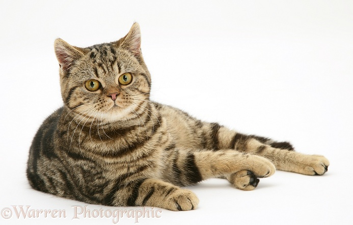 British Shorthair brown tabby cat, Tiger Lily, reclining, white background