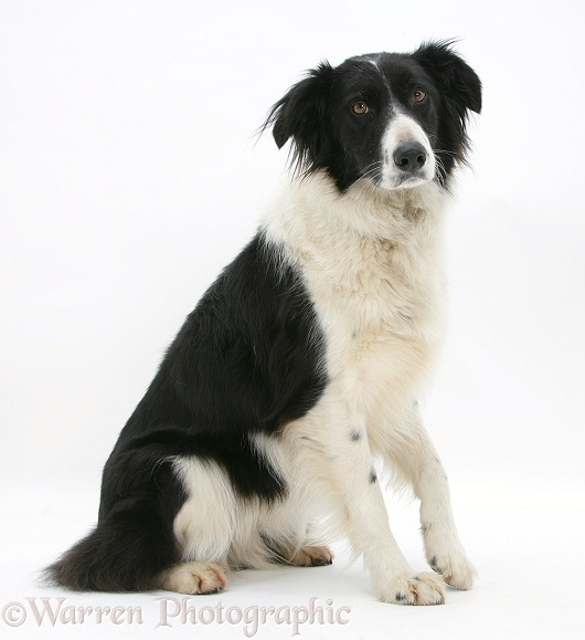 Black-and-white Border Collie, Phoebe, with a lame paw, white background