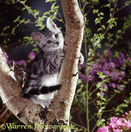 Silver tabby male kitten, Zak, 12 weeks old, playing in the fork of a Silver Birch tree