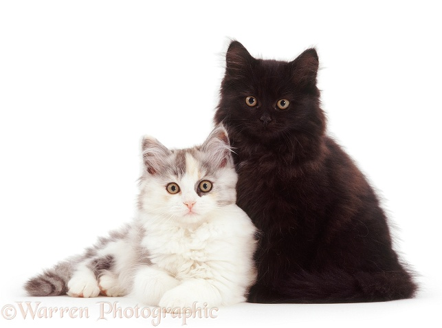 Chinchilla Persian-cross kittens