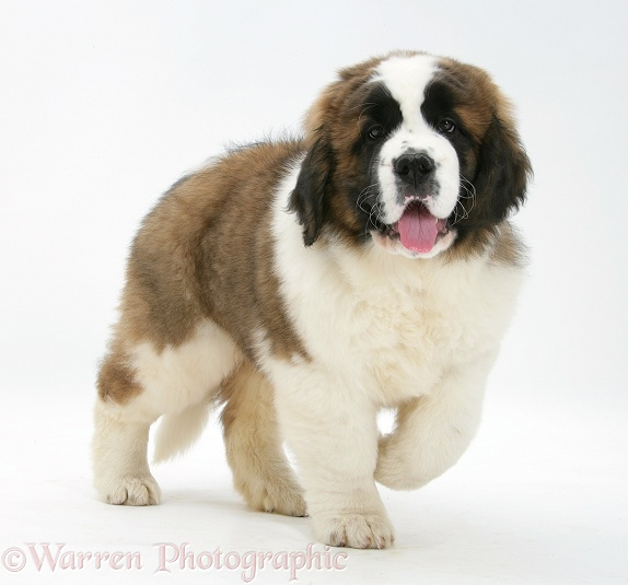 Saint Bernard puppy, Vogue, white background